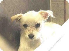 Mesa, AZ - Jack Russell Terrier/Chihuahua Mix. Meet A3638252, a dog for adoption. http://www.adoptapet.com/pet/13527569-mesa-arizona-jack-russell-terrier-mix