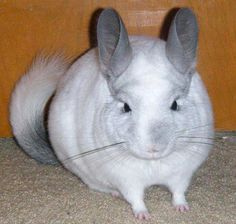 Yuki the #chinchilla  So cute....want one one day ;)