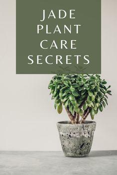 Read our Jade Plant Care Secrets Article #jadeplant #crassulaovata #platcare #plantophiles Jade Plant Care, House Plant Care, Crassula Ovata, Jade Plants, Outdoor Plants, Houseplants, Orchids, Succulents, The Secret