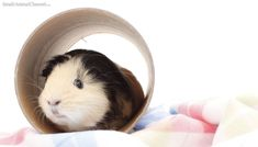 From squealing to sleeping with their eyes open, pet guinea pigs baffle and charm us with their behavior. Pet Guinea Pigs, Guinea Pig Care, Pig Information, Guine Pig, Animals And Pets, Cute Animals, Class Pet, Cute Piggies, Little Pigs