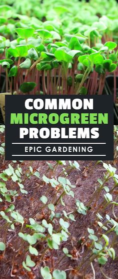 Learn how to solve common microgreen problems in this part of the Epic Gardening Microgreens Growing Guide!
