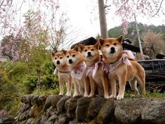 These Shiba's Look Like They're Dropping Their New Album