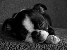 Everything I respect about the Friendly Boston Terrier Dogs Cute Puppies, Cute Dogs, Dogs And Puppies, Doggies, Bulldog Puppies, Boston Terrier Love, Boston Terriers, Continental Bulldog, Baby Animals
