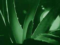 Aloes | Prawda.xlx.pl - Zdrowie