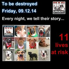 TO BE DESTROYED: 11 Dogs to be euthanized by NYC ACC- THURS. 9/12/14. This is a HIGH KILL shelter group. YOU may be the only hope for these pups! ****PLEASE SHARE EVERYWHERETo rescue a Death Row Dog, Please read this: http://urgentpetsondeathrow.org/must-read/ To view the full album, please click here: https://www.facebook.com/media/set/?set=a.611290788883804.1073741851.152876678058553&type=3
