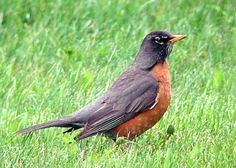 Where I live, robins migrate south for the winter and return in the spring.  I am waiting to see the first robin of this year.