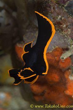 Pinnate Batfish