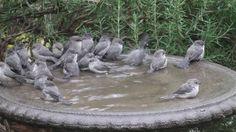 Bushtits flash mob the birdbath