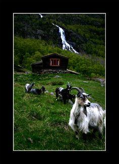 Goats in Norway by ~firlondion on deviantART  #goatvet