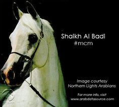 This #ManCrushMonday, we're all about the stunning Arabian stallion Shaikh Al Badi! This gorgeous guy has the same sire as last week's Theegyptianprince, and his dam was out of the same stud, too. Good looks clearly ran in the family! #MCM #ArabianHorses