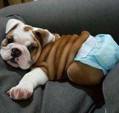 // Kaufmanns Puppy Training // dog training // dog love // puppy love - How to train a puppy? - How to train a puppy? Corgi Puppies, Husky Corgi, English Bulldog Puppies, Cute Puppies, Chihuahua, Cute Dogs, Dogs And Puppies, Doggies, Terrier Puppies
