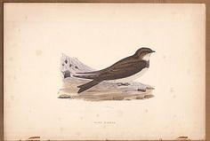 Sand Martin Bird -  Original c1860 Morris H/C Print