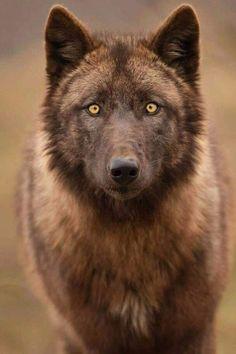 Animaux ... Loups