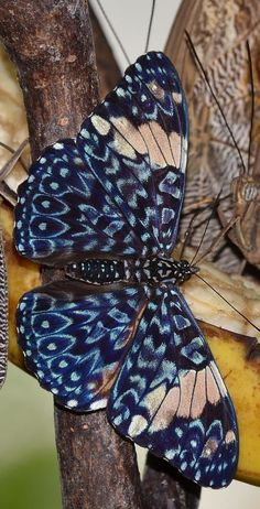 """Cracker butterfly by Eva. Cracker butterflies are a neotropical group of medium-sized brush-footed butterfly species of the genus Hamadryas. They acquired their common name due to the unusual way that males produce a """"cracking"""" sound as part of their territorial displays."""