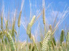 全粒小麦粉(チクゴイズミ)きくち村の生産者、村上保夫さんが熊本県菊池市にある人里離れた畑で、無施肥・無農薬の自然栽培で育てた小麦を、水車で製粉・脱穀を行っている大村水車さんで製粉した、フスマ入りの全粒小麦粉です。