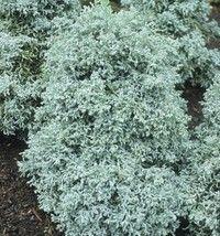 chamaecyparis pisifera 'Boulevard' - Conifers › Cypress | Maplestone Ornamentals  For the regular garden