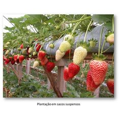 como plantar morangos em vasos - Pesquisa Google