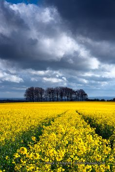 Rapeseed field at Ashmore Down, Cranborne Chase on the Dorset/Wiltshire border - England.