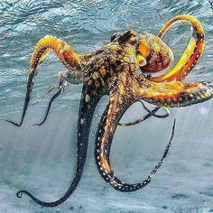 Beautiful pics of Octopus Ocean Preservation Beautiful Sea Creatures, Deep Sea Creatures, Animals Beautiful, Octopus Tattoos, Octopus Art, Octopus Pictures, Jellyfish Pictures, Octopus Photography, Fauna Marina