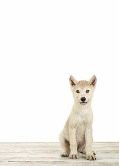 Wolf Pup  /  Little Darlings  -  Sharon Montrose photography   -  http://www.theanimalprintshop.com/Nursery-Art/   -  -  http://www.sharonmontrose.com/