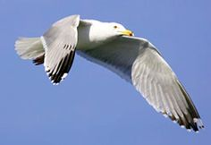 Herring Gull In flight over downtown Herring Gull, Gulls, Black Wings, Sea Birds, Photos, Pictures