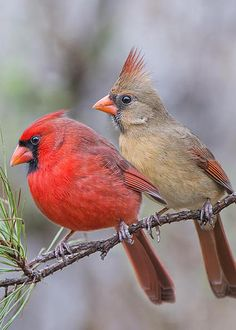 Mr. and Mrs. Redbird by Bonnie Barry