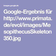 Google-Ergebnis für http://www.primata.de/evol/images/MesopithecusSkeleton350.jpg