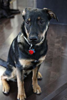 So Adorable! German Shepard Black Lab Mix like I had as a little girl.