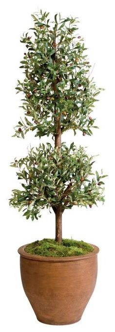 Ideas For Olive Tree Garden Tuin Citrus Trees, Fruit Trees, Christmas Tree Wallpaper Iphone, Fall Tree Painting, Simple Tree House, Trees For Front Yard, Boxwood Topiary, Topiaries, Pine Tree Tattoo