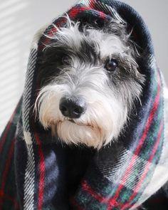 Is winter over yet? __________________________________________ #jimbob_schnauzer #schnauzersofinstagram #schnauzer #schnauzersofig #saltandpepper #minischnauzer #miniatureschnauzer #dogsofinstagram #dogsofig #doglife #dogsofinsta #lifeofadog #dogoftheday #bestdog #doggo #puppers #yeg_dogs #yegdogs