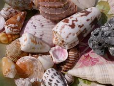 These seashells were once the home of some beautiful sea creatures. We collected them on the beaches of the Caribbean, the South Pacific, Bali and Florida after they had been abandoned by the animal. Please do not purchase seashells, seahorses, starfish, seaurchins etc. that were harvested live!