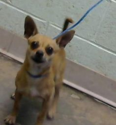 STATUS UNKNOWN - Tip - URGENT - located at Dekalb County Animal Shelter in Decatur, Georgia - 4 year old Chihuahua Short Coat Mix