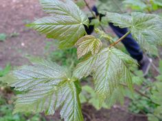 HERBAL PICNIC: MAPLE TREE Maple leaves are used in love spells & money rituals. Magical uses include prosperity,sweetening up someone,children's magic & love spells.