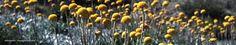 Alpine wildflowers | Australian Alps | January