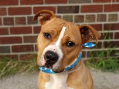^^ SUPER URGENT 8/12/14 ^^ Brooklyn Center -P My name is NICO. My Animal ID # is A1009234. I am a neutered male tan and white staffordshire mix. The shelter thinks I am about 2 YEARS I came in the shelter as a OWNER SUR on 08/04/2014 TOO MANY P. ~ EXERCISE/RUNNING BUDDY-LOTS OF ENERGY ~ FRIENDLY ~ HANDSOME ~ LIKES KIDS/PEOPLE/DOGS!!!