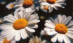 FAQ: Where does pyrethrum come from?