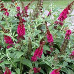 buddleia miss molly - Google Search