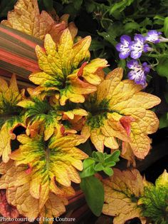 Easy To Grow Houseplants Clean the Air Another Gorgeous Example With Coleus 'Smallwood Driveway' From Hort Couture. Patio Plants, Outdoor Plants, Garden Plants, Fruit Garden, Shade Flowers, Shade Plants, Pink Flowers, Colorful Plants, Tropical Plants