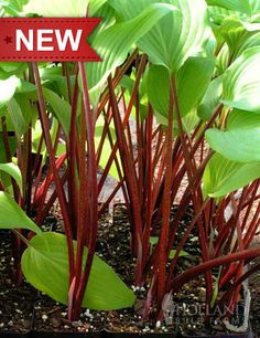 """New Hosta (Quite Different) lovely contrast """"Red October"""""""
