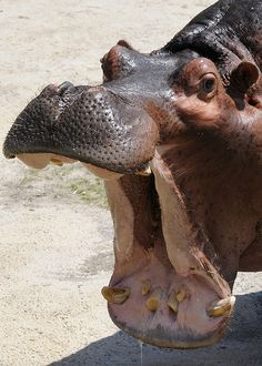 Hippos don't yawn because they are tired, they yawn to show off the size of their teeth <3