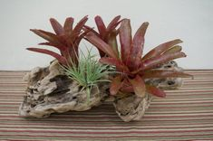 Live Bromeliads in Driftwood with Air Plants Driftwood Centerpiece, Driftwood Planters, Tropical Centerpieces, Colorful Plants, Air Plants, Garden Ideas, Art Pieces, Live, Nature