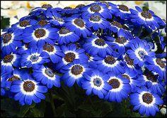 Blue cineraria
