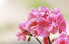pink geranium on a sunny day Pink Geranium, Landscaping Tips, Geraniums, Gelato, Feng Shui, Fountain, Landscape, Flowers, Estate