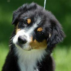 Black & White Australian Shepherd Puppy