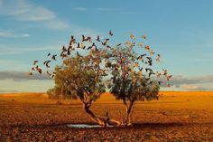 砂漠でぽつんと一本生えている木の根元の水溜りに、モモイロインコが群がっている。砂漠の真ん中でこの美しい鳥たちが飛ぶ様子が、これほどはっきりと均整のとれた構図で撮れた写真は珍しい。