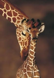 A mother giraffe's love