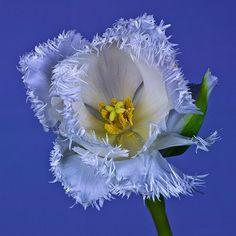 Tulip by Master Pedda  on Flickr.
