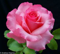Shug ~ Hybrid Tea Rose