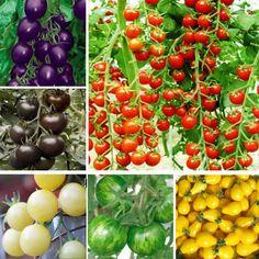 5種類トマト種子、10個の種類ごとに。合計50種子、発芽95% +新鮮な、送料無料