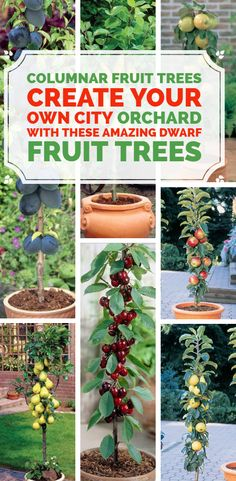 Columnar Fruit Trees: Create Your Own City Orchard with These. Columnar Fruit Trees Create Your Own City Orchard with These Amazing Dwarf Fruit Trees You have always wanted to have your own fruit orchard and pick crisp organic produce from the trees you Fruit Tree Garden, Dwarf Fruit Trees, Growing Fruit Trees, Garden Trees, Terrace Garden, Small Fruit Trees, Planting Fruit Trees, Rooftop Terrace, Garden Soil